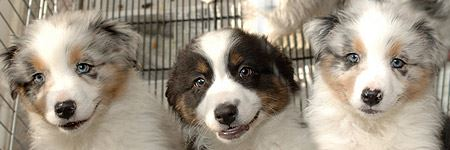 3 Australian Shepard puppies looking up from a wire crate